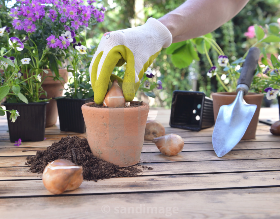 """""""hand of gardening planting a bulob of flower in a pot put on a table in garden"""" stock image"""