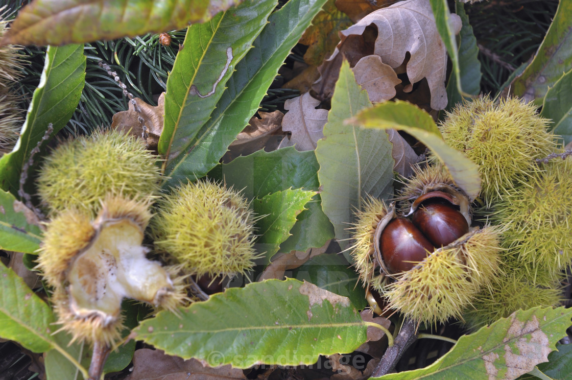 """close on a fresh chestnuts in its husk and falled on the ground in leaves"" stock image"