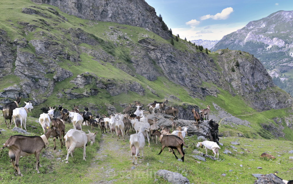 """livestock of alpine goats in pasture in mountain"" stock image"