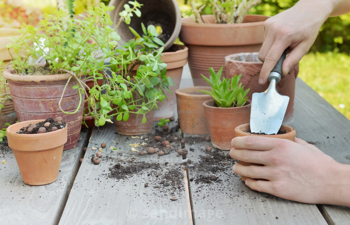 """shovel holding by gardener hands potting plant on wooden background in a garden"" stock image"
