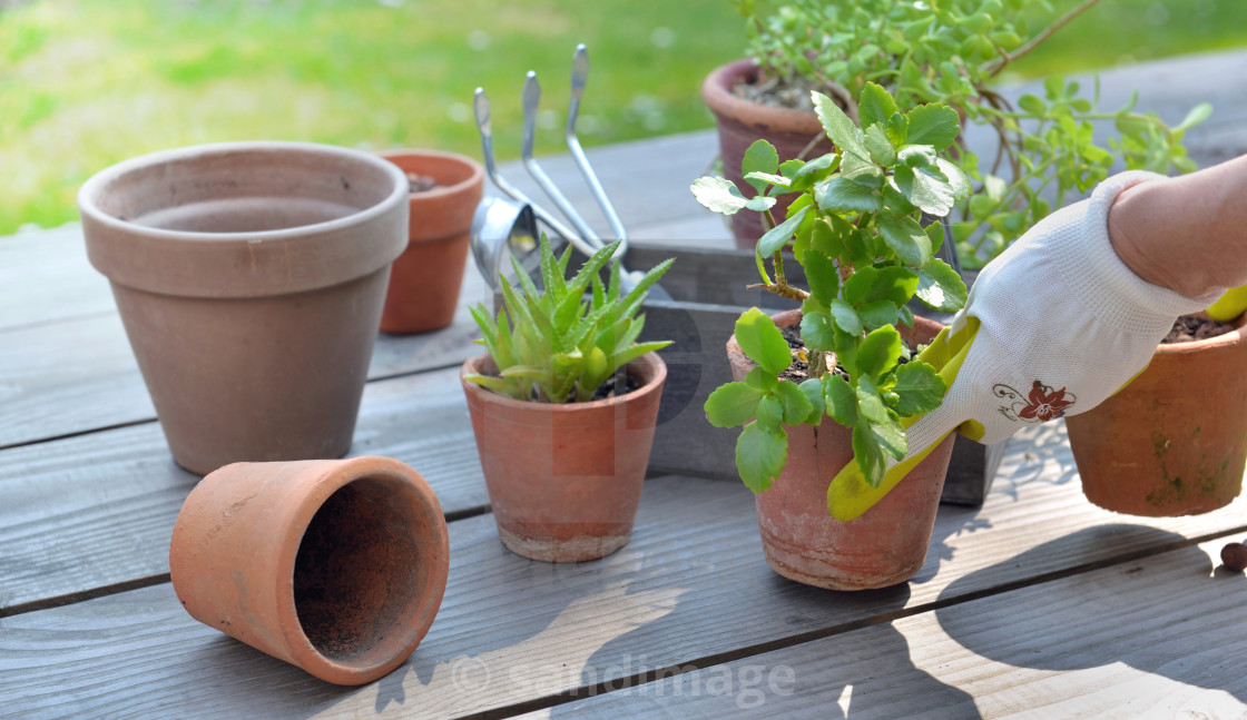 """hand of gardener potting succulent plant on a table in garden"" stock image"
