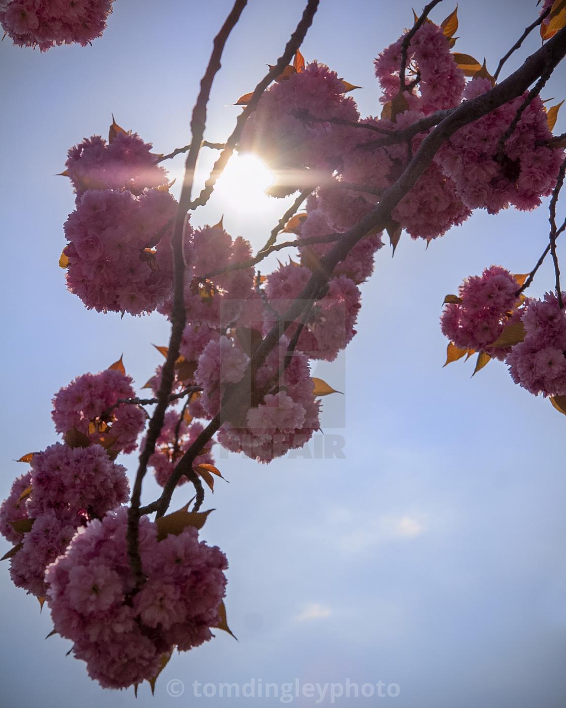 """Cherry Blossom Blue Skies"" stock image"