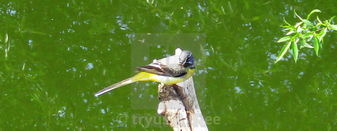"""Wagtail resting on branch"" stock image"