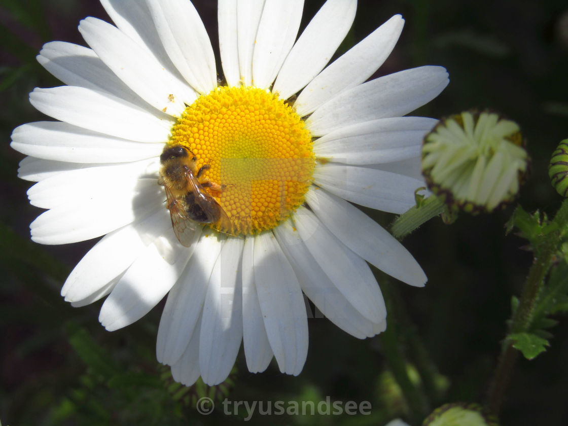 """Bee on daisy flower"" stock image"