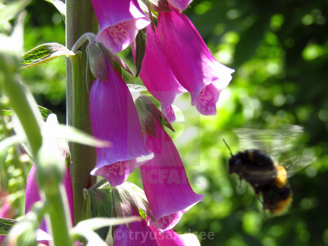"""Bee flying around foxglove"" stock image"