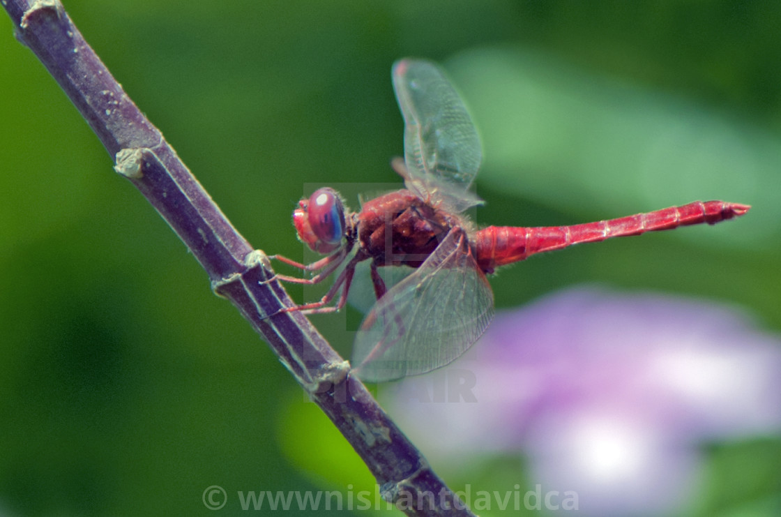 """""""The Red Dragon Fly"""" stock image"""