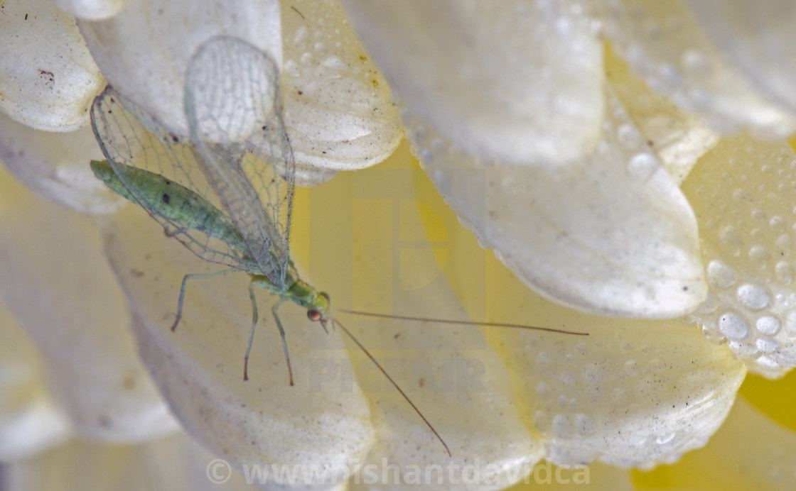 """""""Chrysanthemum and a Green Insect"""" stock image"""