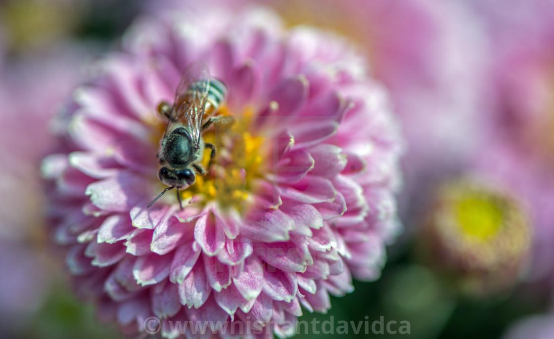 """Chrysanthemum and a Honey Bee"" stock image"