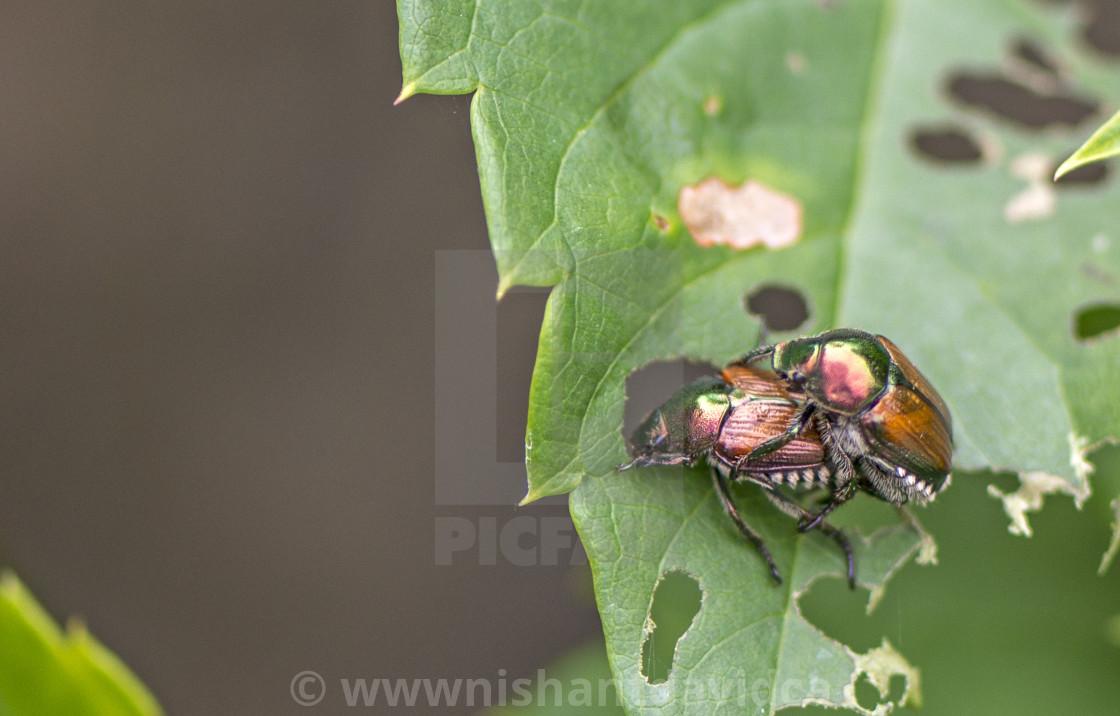 """Mating Japanese beetle (Popillia japonica)"" stock image"