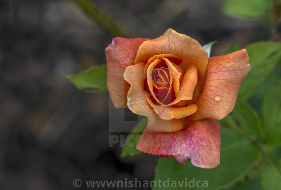 """""""Stunning Rose"""" stock image"""