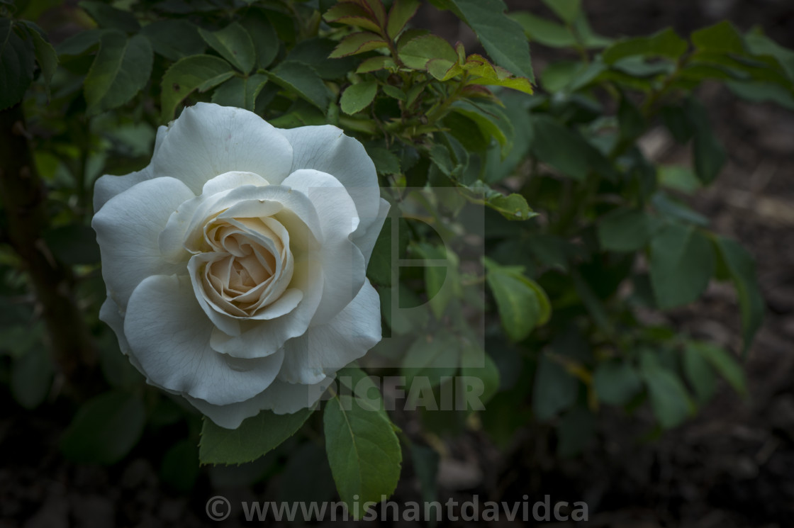 """""""The White Rose"""" stock image"""