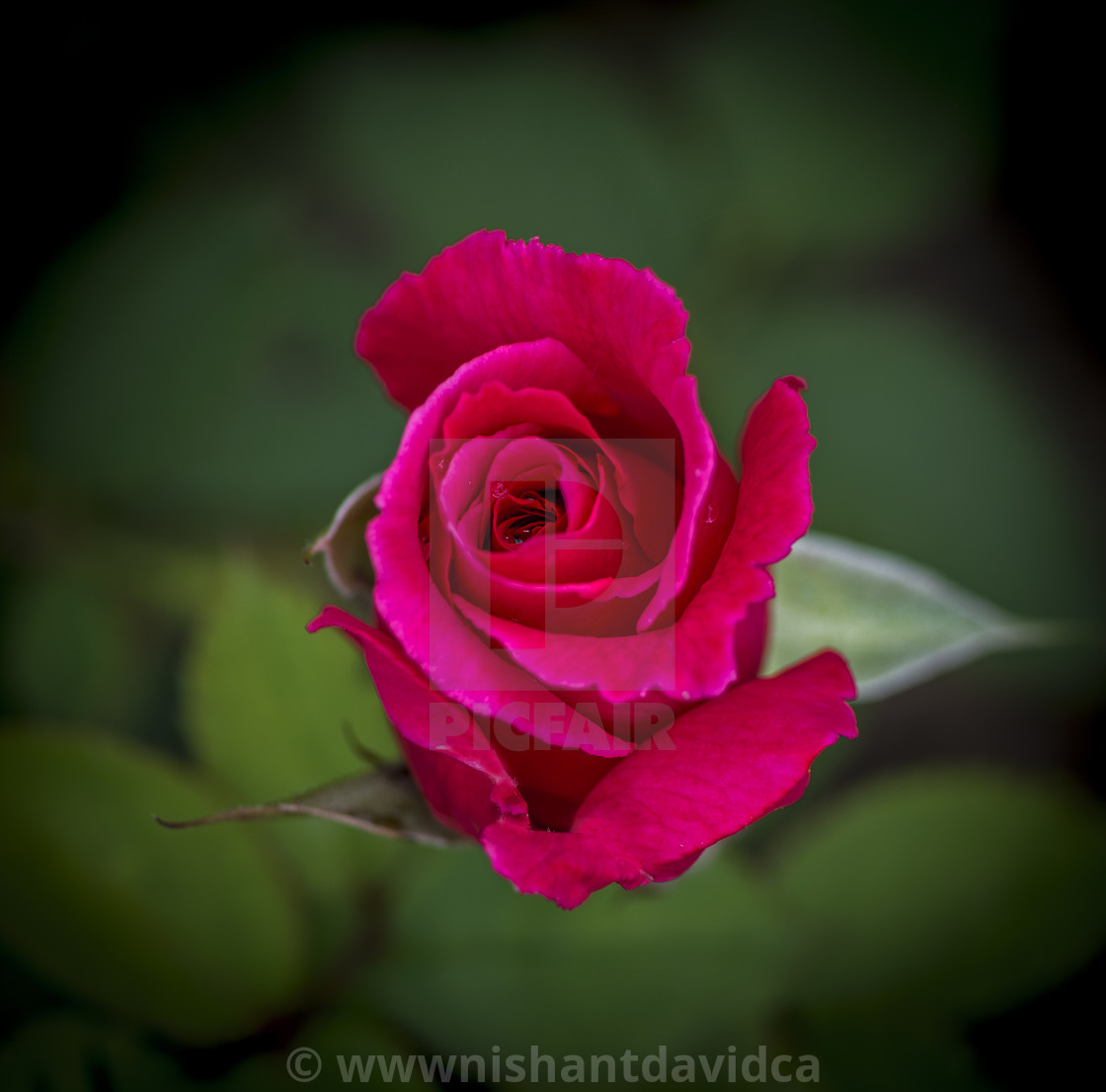 """""""The Pink Rose"""" stock image"""