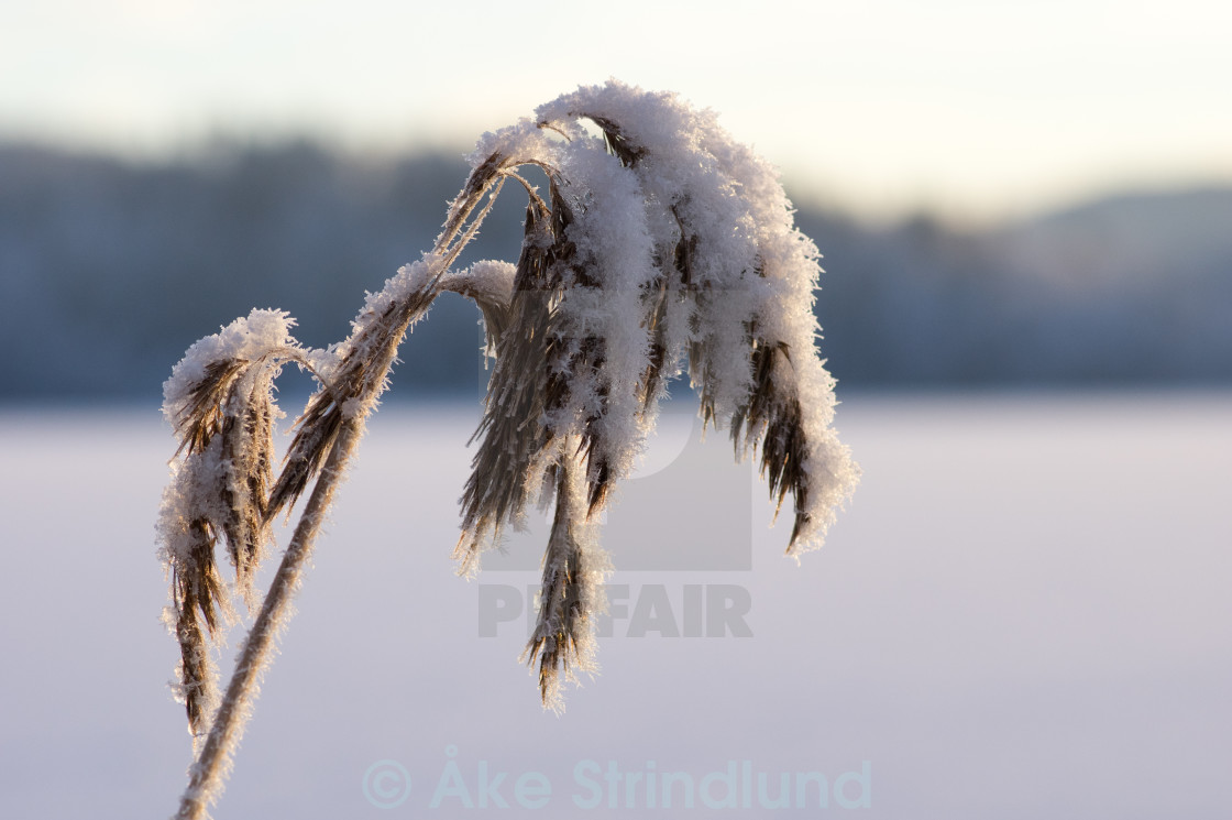 """Frost on reed"" stock image"