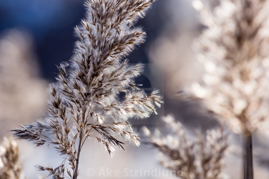 """Reed"" stock image"