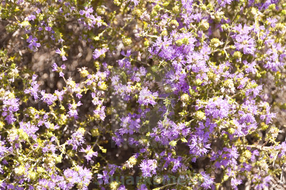 """Maquis shrubland"" stock image"