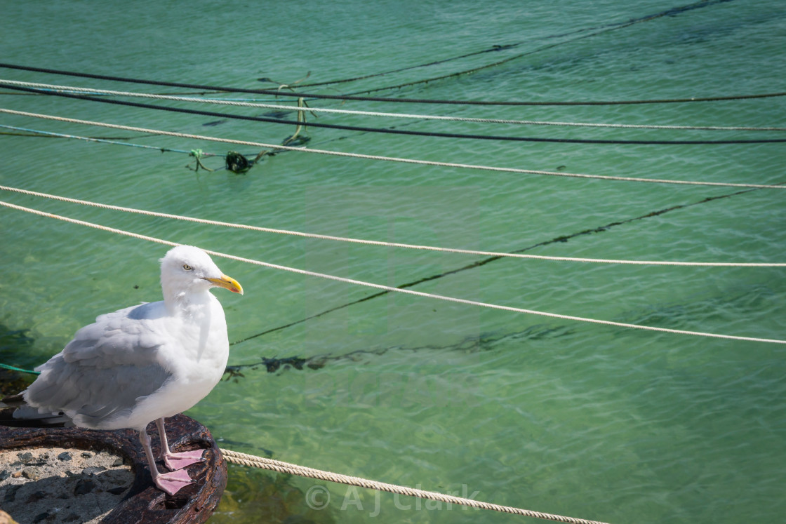 """""""Seagull in St Ives"""" stock image"""
