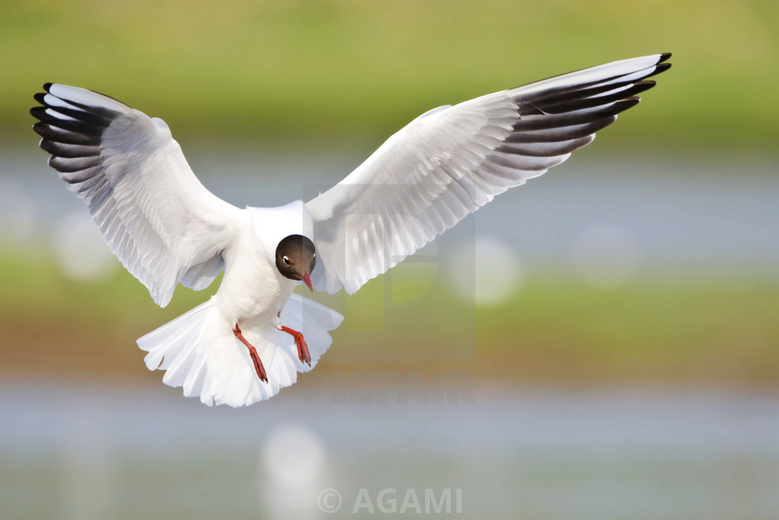 """Kokmeeuw, Black-headed Gull, Chroicocephalus ridibundus"" stock image"