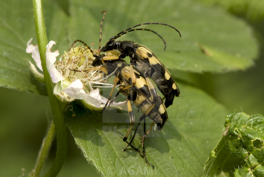 """Longhorn Beetle, Gevlekte Smalbok, Strangalia maculata"" stock image"