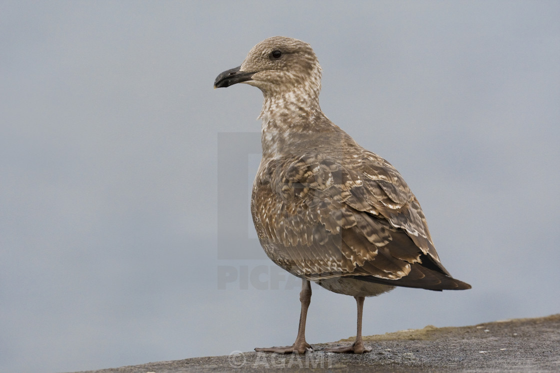 """Gabbiano reale atlantico; Azores Yellow-legged Gull; Larus micha"" stock image"