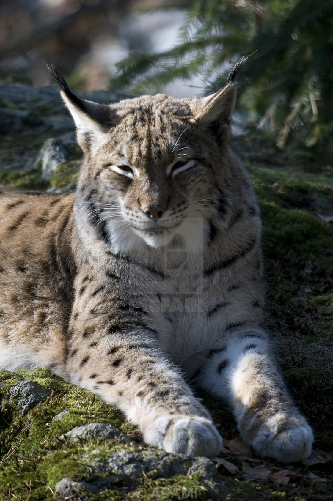 Lynx, Eurasian Lynx, Lynx lynx - License, download or print