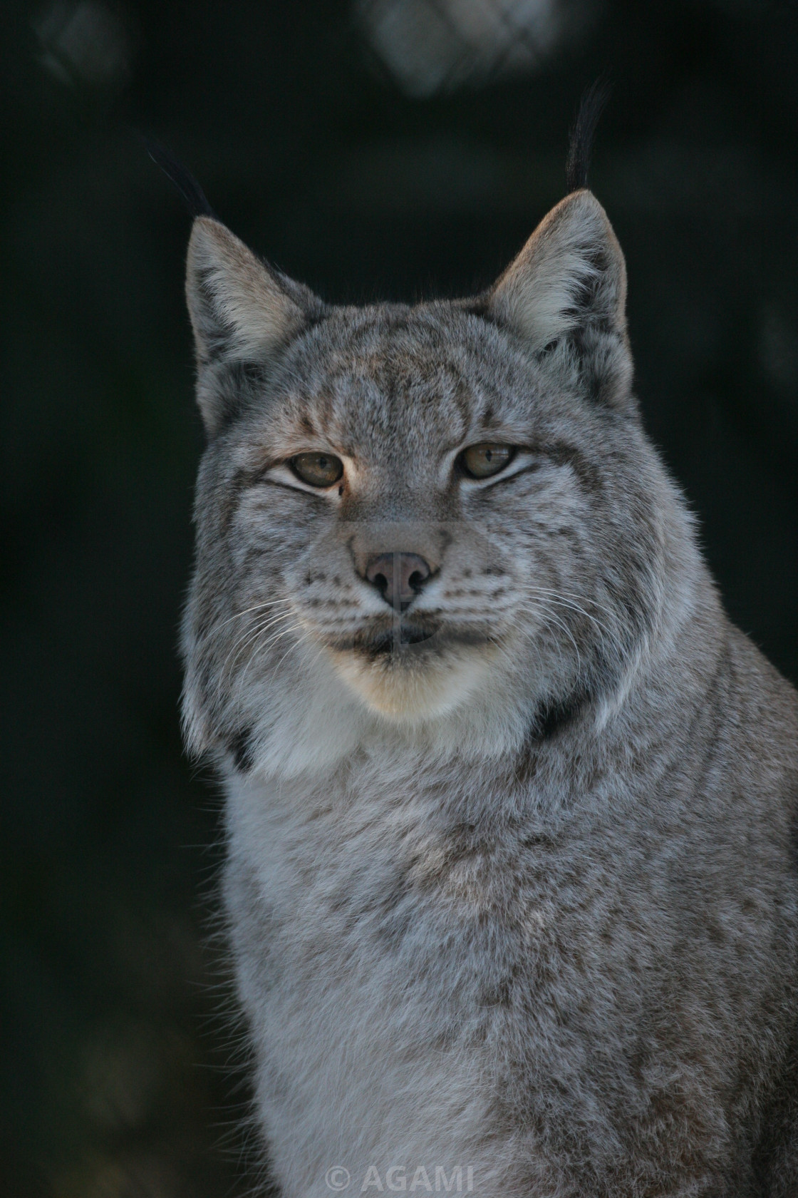 Europese Lynx, European Lynx, Lynx lynx - License, download
