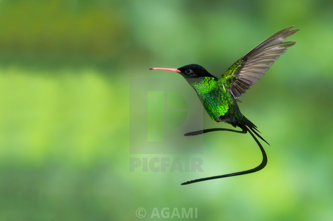 """Red-billed Streamertail, Trochilus polytmus"" stock image"