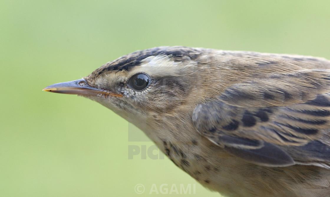 """Rietzanger, Sedge Warbler, Acrocephalus schoenobaenus;"" stock image"
