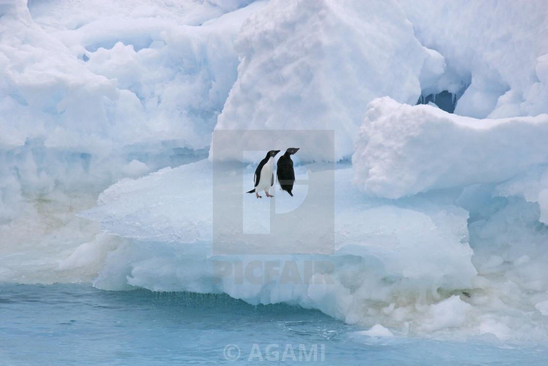 Adelie penguin, Pygoscelis adeliae - License, download or