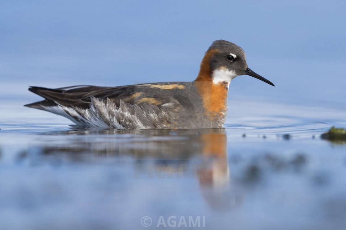 """Red-necked Phalarope"" stock image"