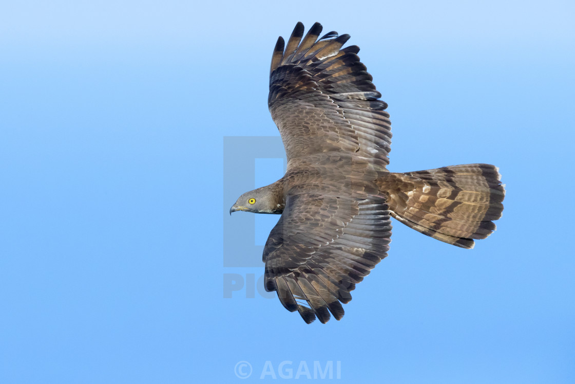 """European Honey Buzzard"" stock image"