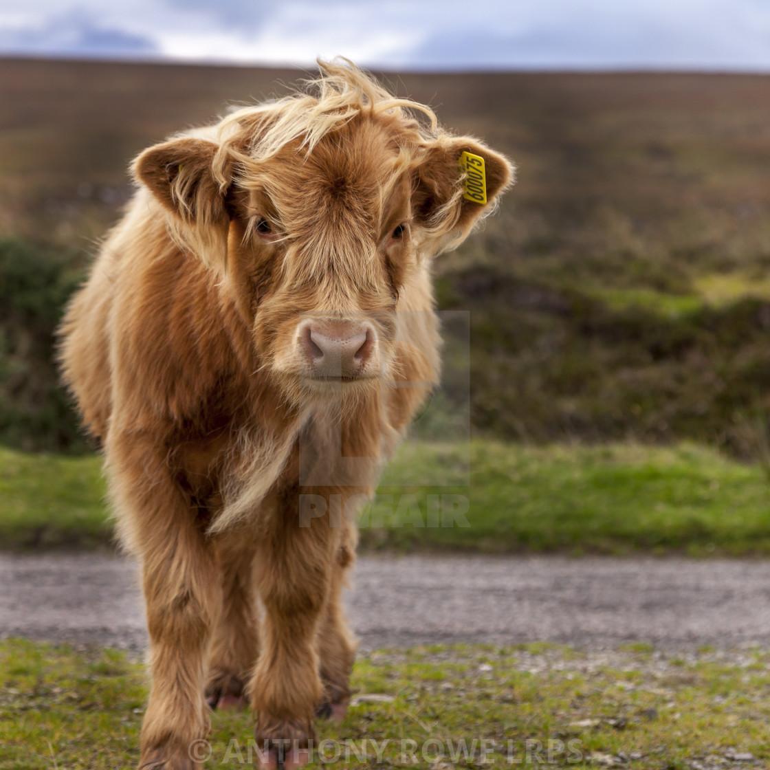 """Highland Calf"" stock image"