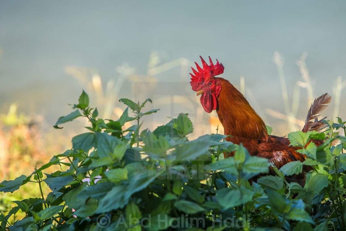 """Rooster"" stock image"
