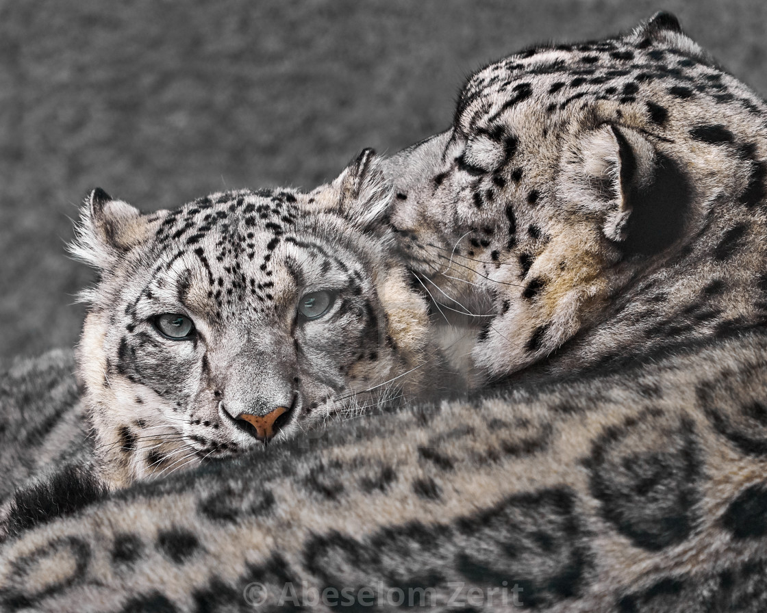 Snow Leopard Pair V - License, download or print for £18 60