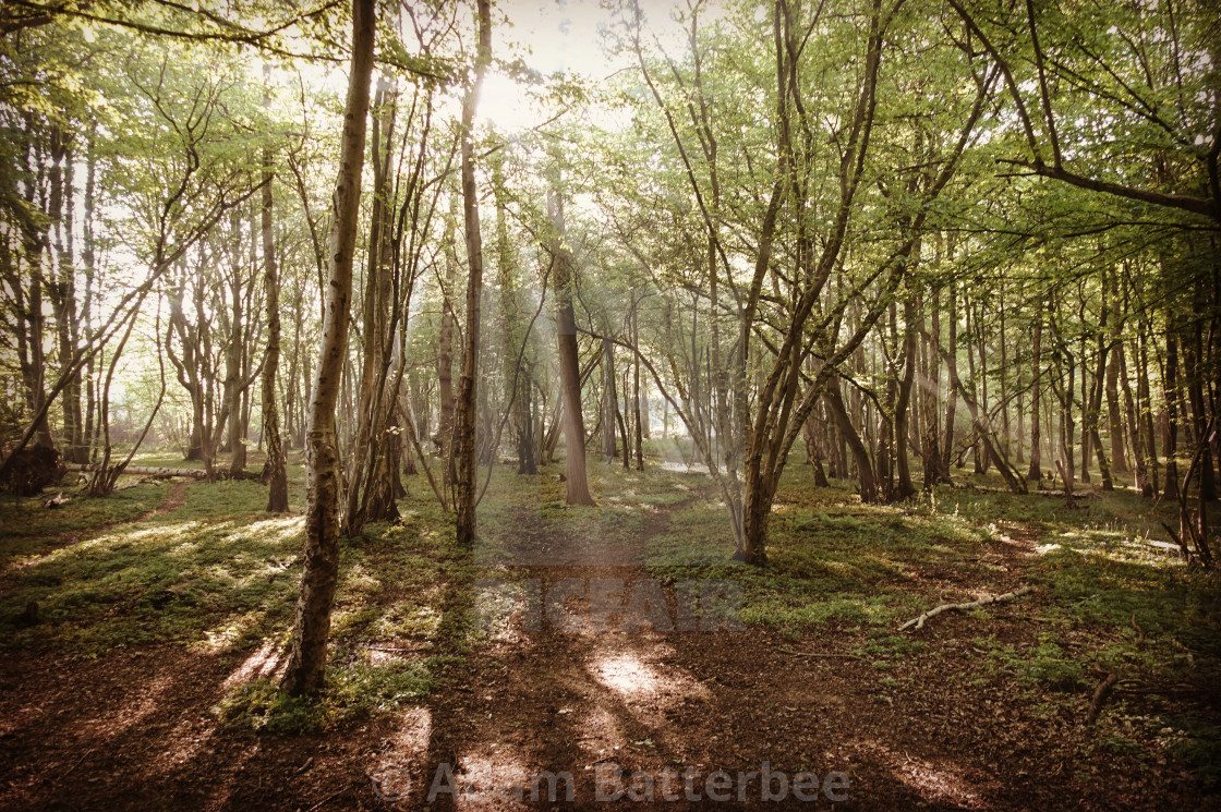 """Daybreak in the forest"" stock image"