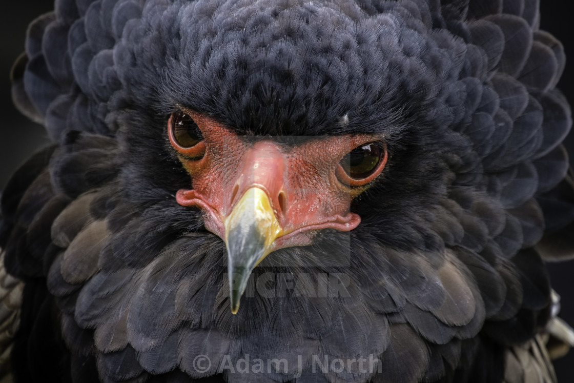 """Bateleur Eagle"" stock image"