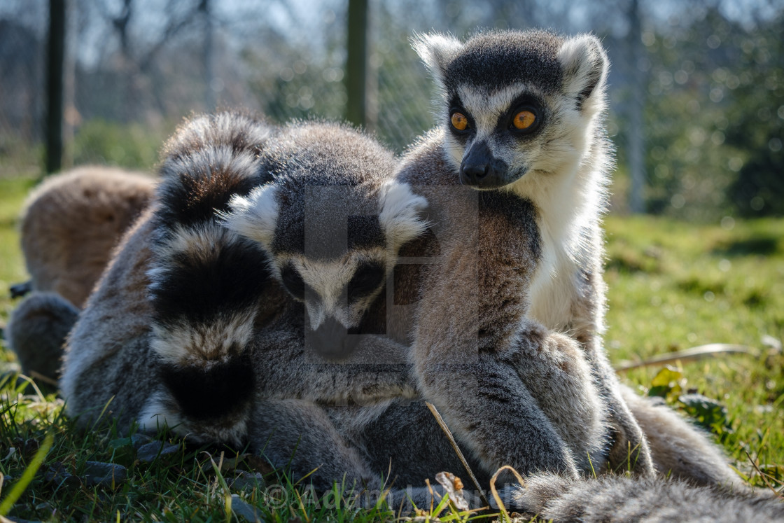 """Ring-tailed Lemurs"" stock image"