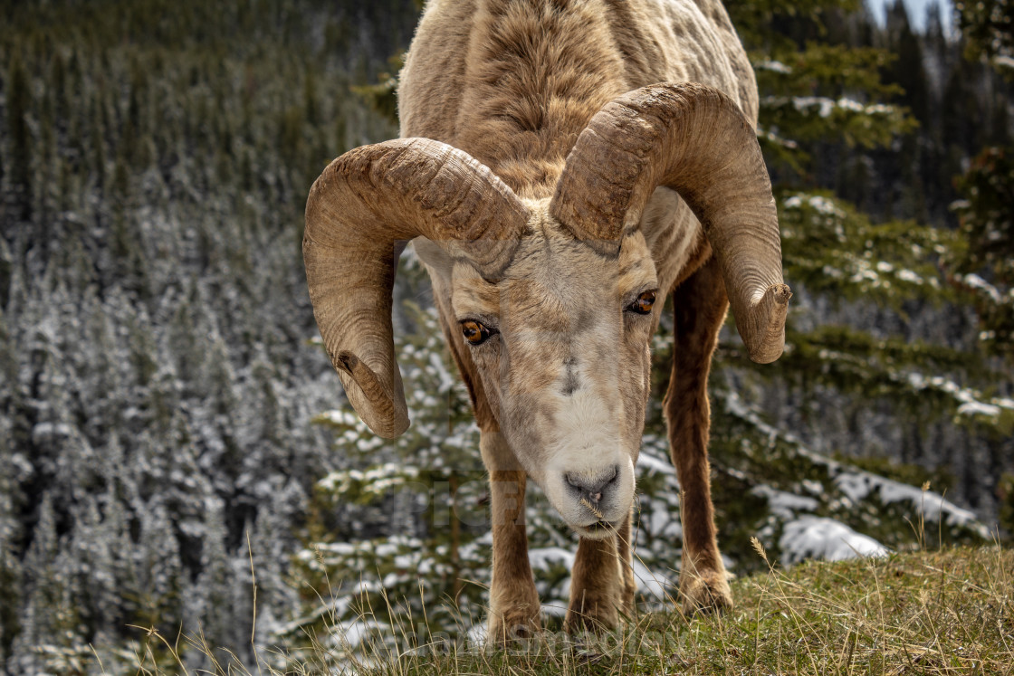 """Stares of a Big Horn Sheep"" stock image"