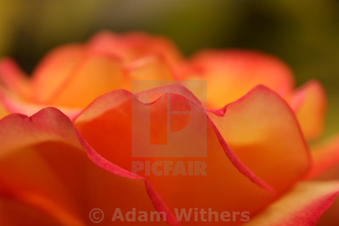 """Red Rose Petals"" stock image"