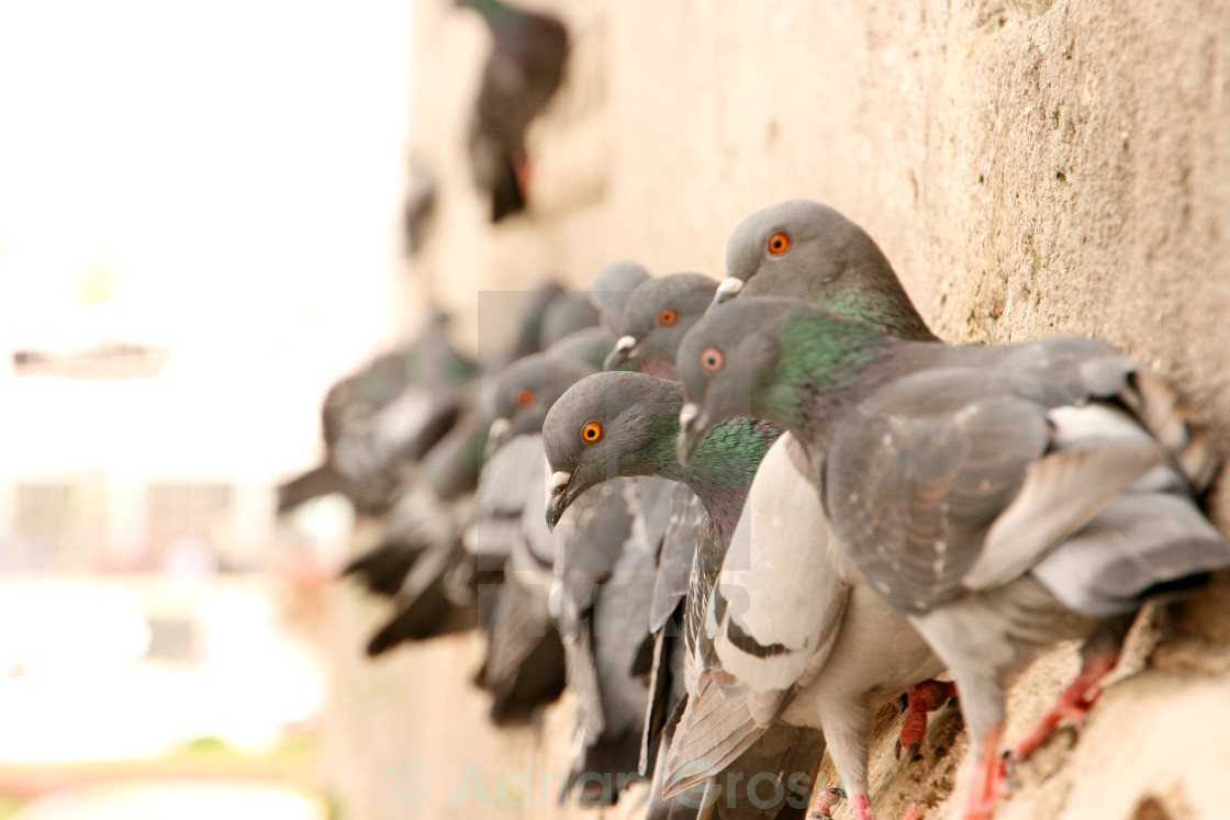 """A bunch of pigeons at Yeni Cami, Istanbul Turkey"" stock image"