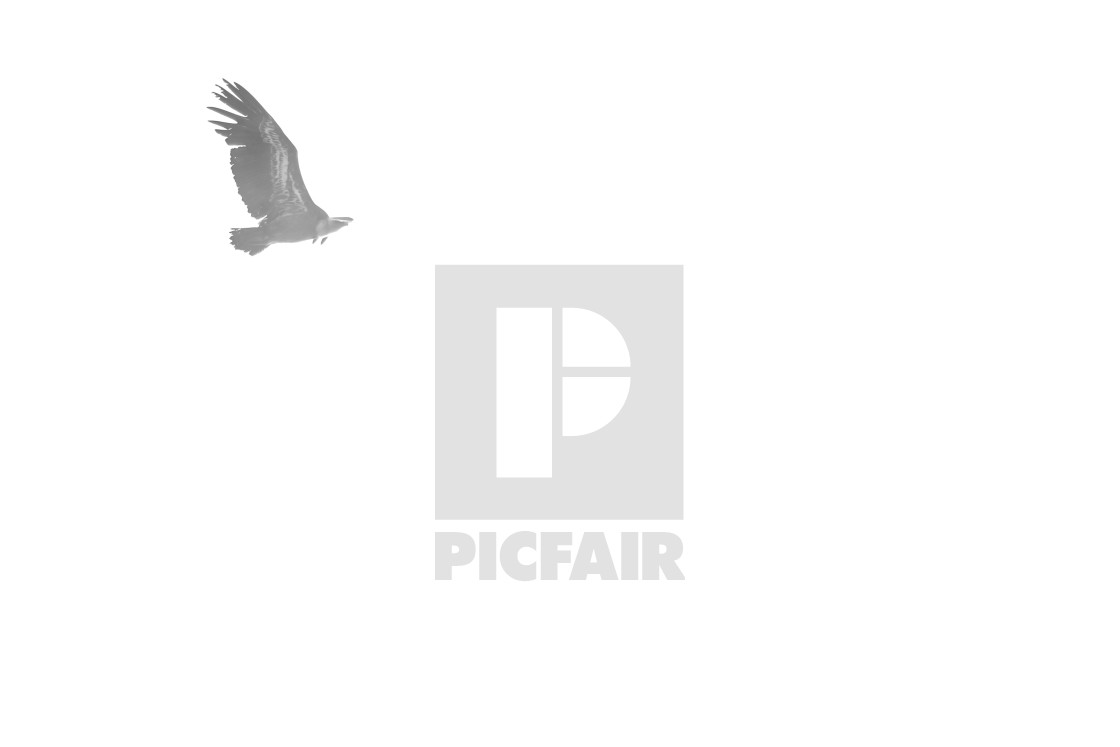 """Isolated vulture flying"" stock image"