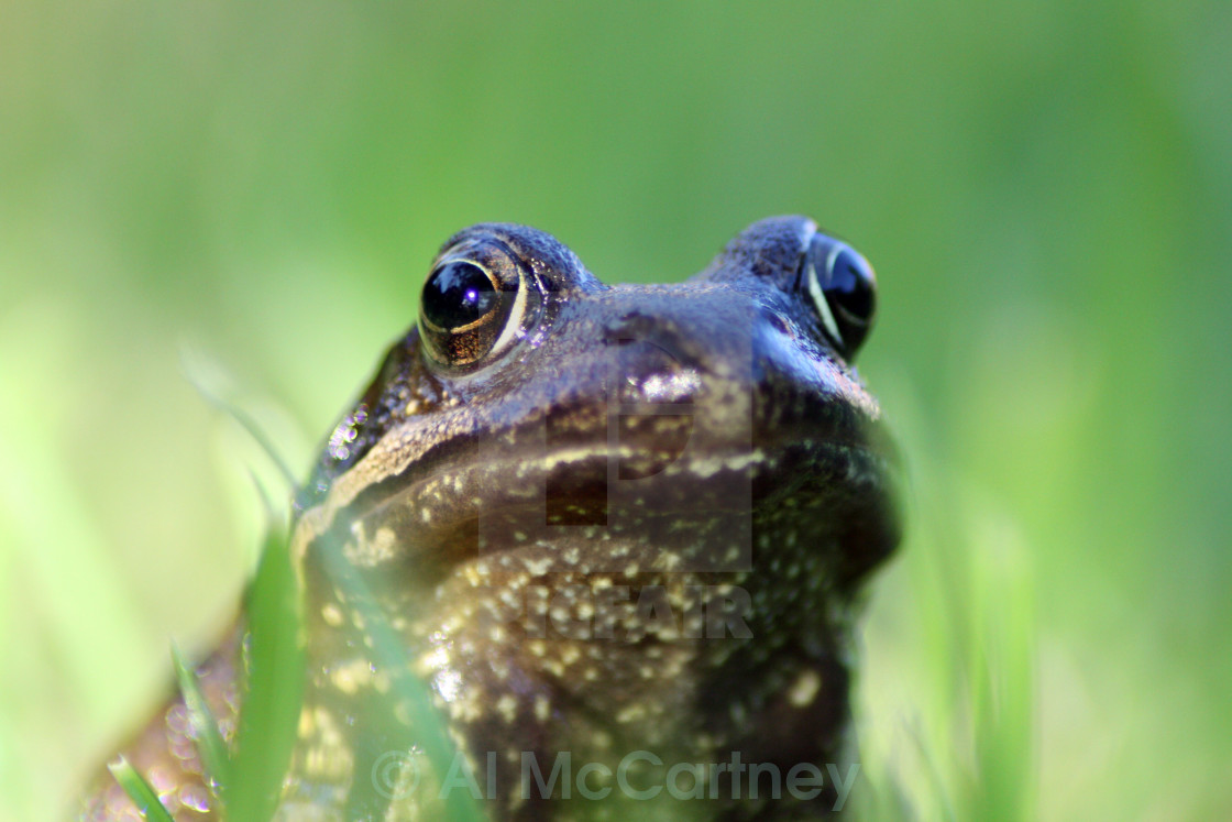 """Frog face"" stock image"