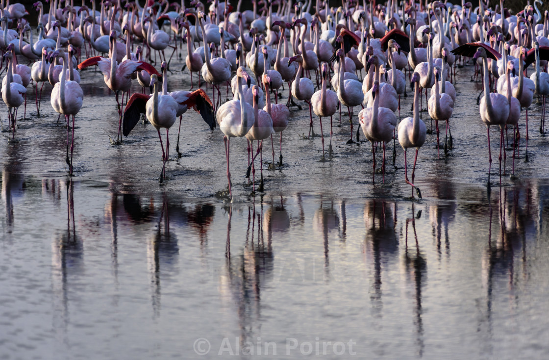 """Flamingos , camargue , France"" stock image"