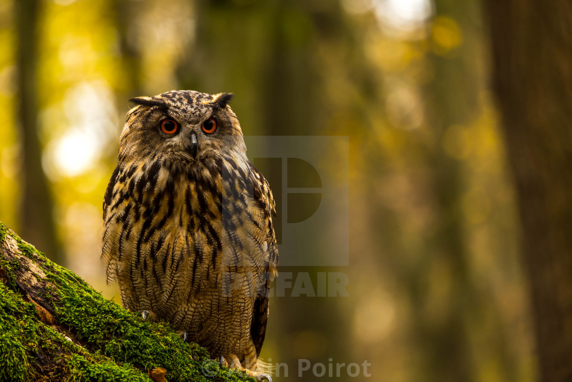 """An eagle owl...a portrait"" stock image"