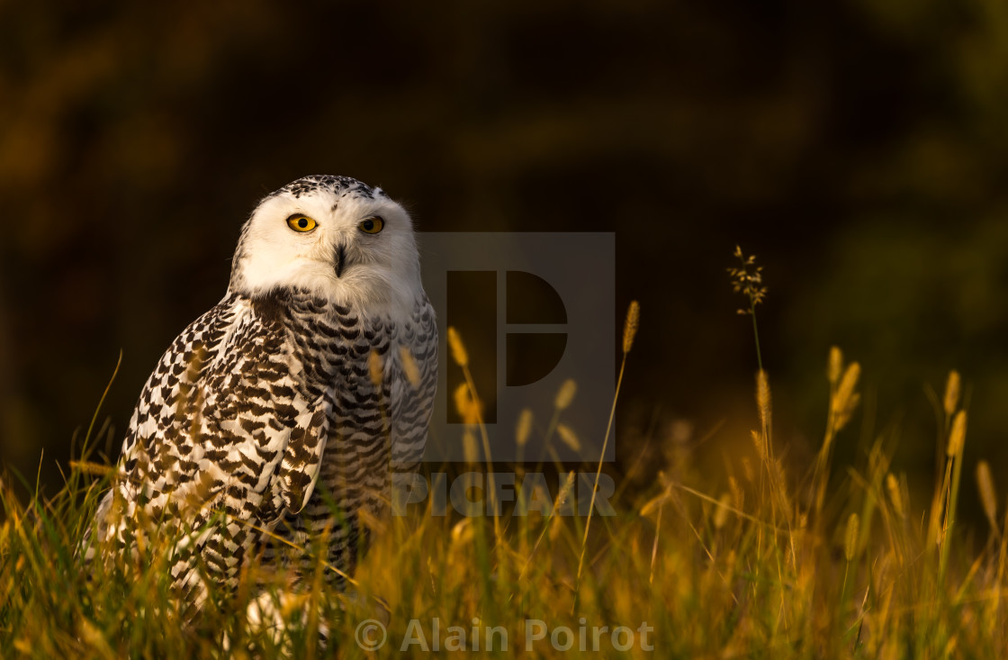 """Portrait of a Snowy Owl"" stock image"