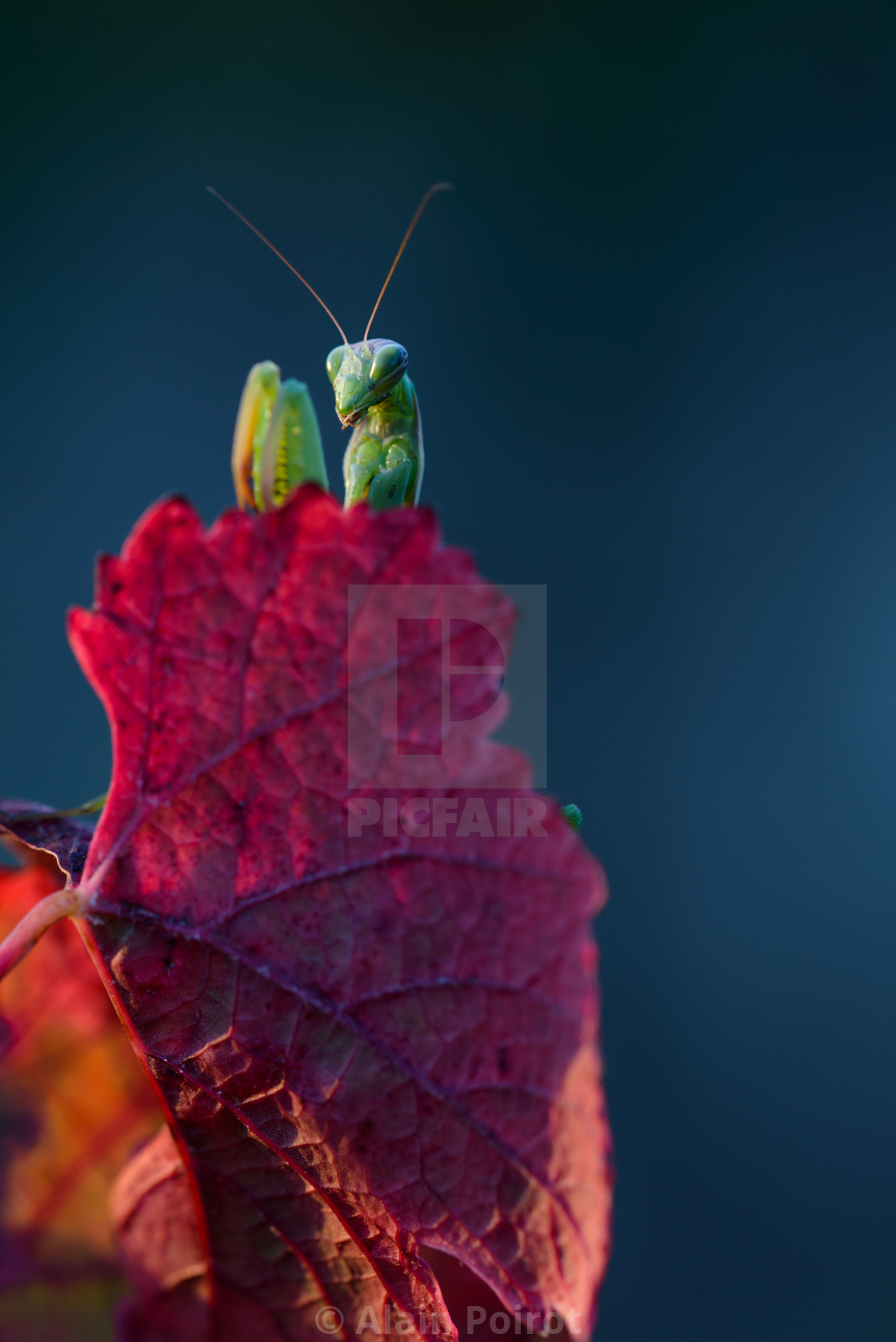 """A praying mantis in the vineyard"" stock image"