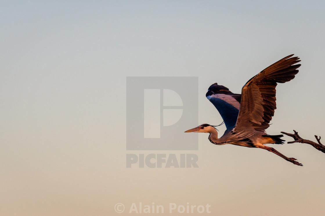 """A grey heron in flight"" stock image"