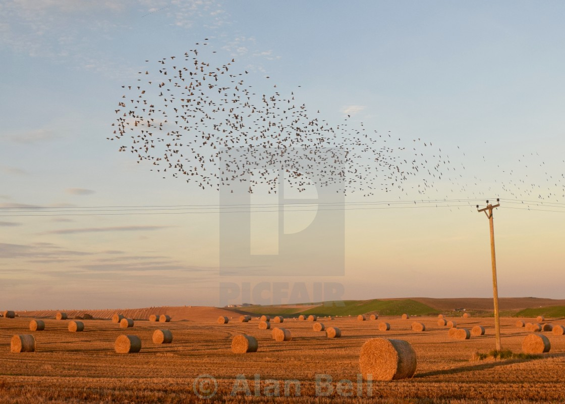 """Murmuration of Starlings"" stock image"