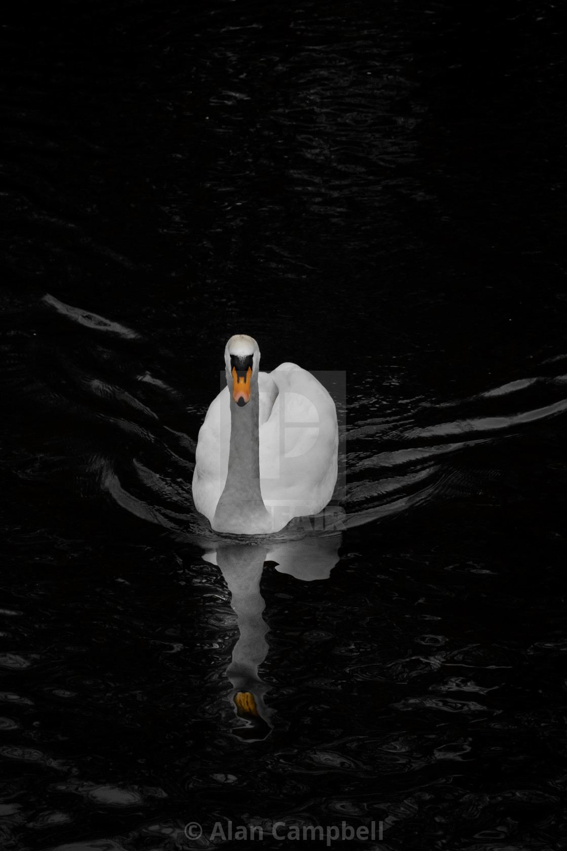 """The lone swan"" stock image"