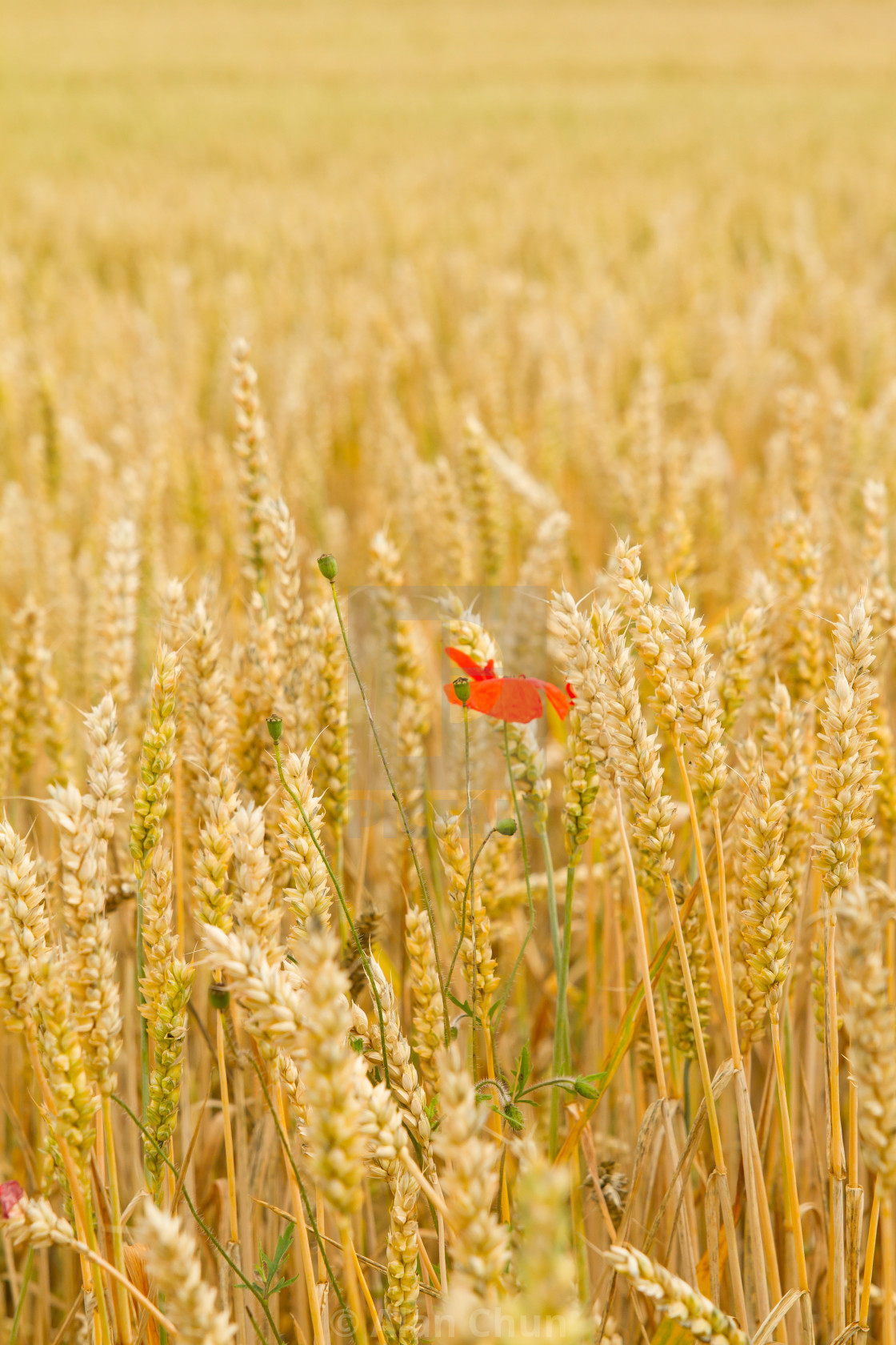 """""""Poppy in the Wheat"""" stock image"""