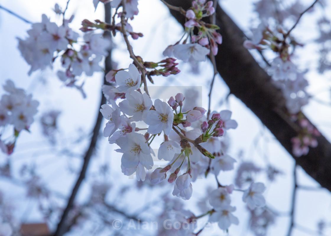 """Sakura bunch"" stock image"